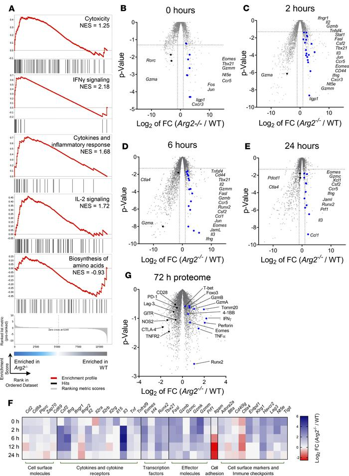 Activated Arg2–/– CD8+ T cells exhibit faster and stronger upregulation ...