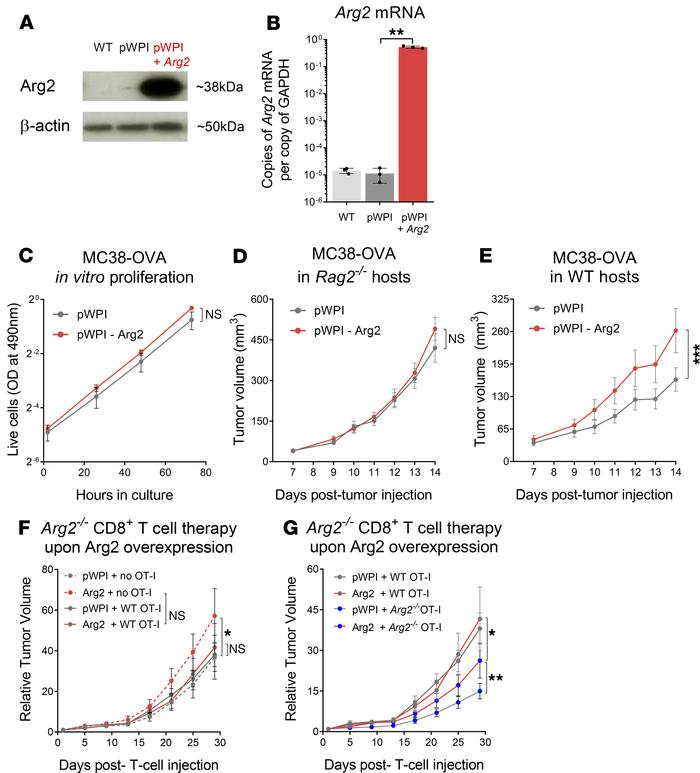 Arg2–/– CD8+ T cells are partially protected against an immunosuppressi...