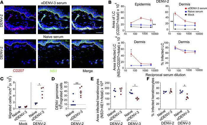 DENV-3 immune sera enhances migration of infected LCs from the epidermis...