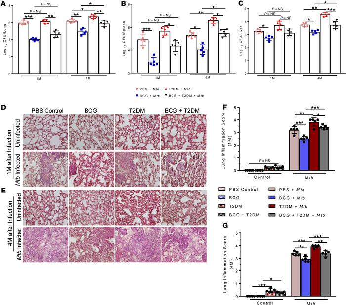 BCG vaccination reduces bacterial burden less efficiently in T2DM mice d...