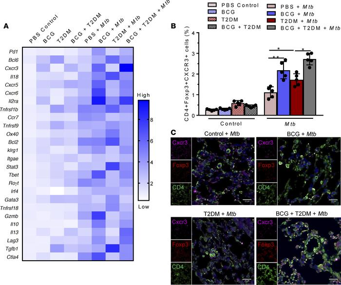 BCG vaccination–induced infiltration of CXCR3+ Tregs in the lungs of Mtb...