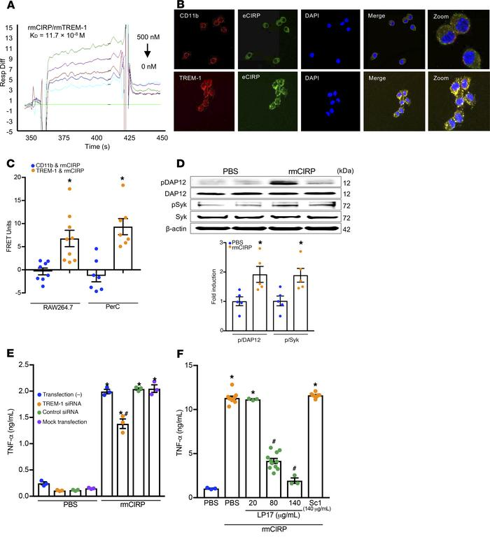 eCIRP binds TREM-1 to promote inflammation. (A) SPR between rmCIRP and r...