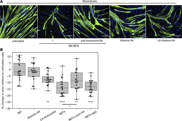 NETs interfere with myotube viability in a citrullinated histone-depende...