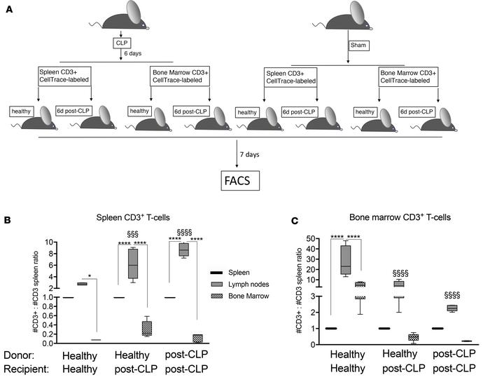 The capacity of T cell homing toward the BM niche is decreased in sepsis...
