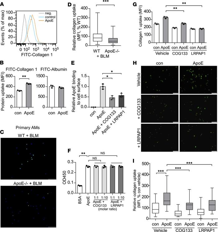 ApoE promotes type I Collagen phagocytosis by macrophages, which is depe...