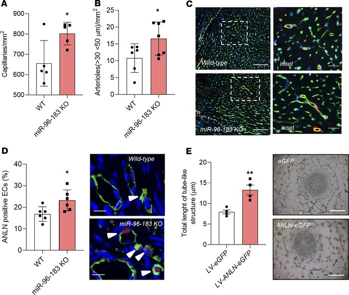 Inhibition of miR-96 and miR-183 increase neovascularization in the adul...