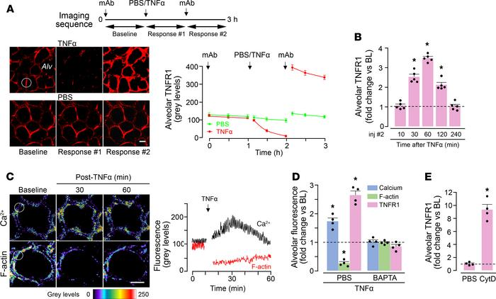 F-actin determines surge in alveolar TNFR1 expression. (A) Confocal imag...