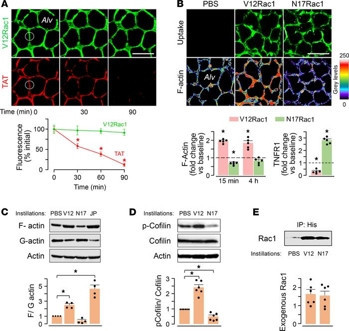 Exogenous delivery of Rac1 mutants modifies the actin cytoskeleton in al...