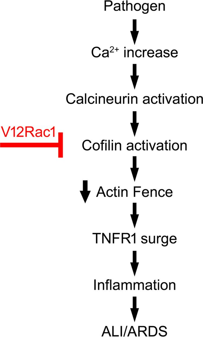 F-actin in acute lung injury. Sequence of events shows signaling mechani...