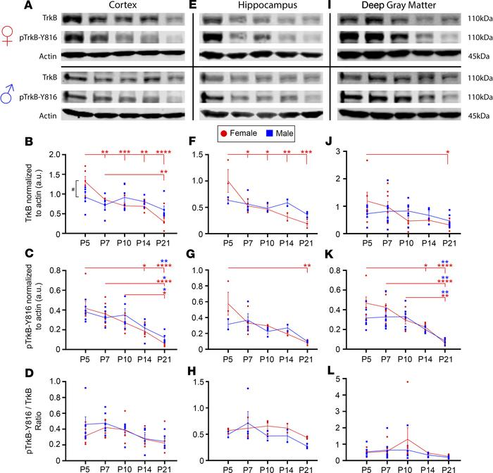 TrkB expression significantly decreased from P5 to P21 in a region-speci...