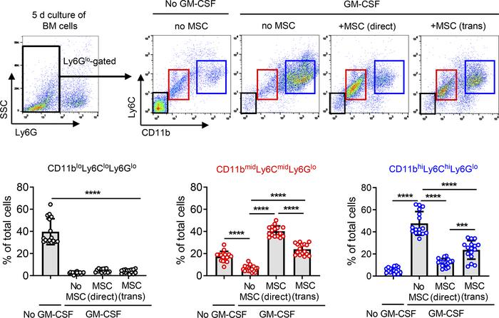 MSCs direct differentiation of BM cells into CD11bmidLy6CmidLy6Glo cells...