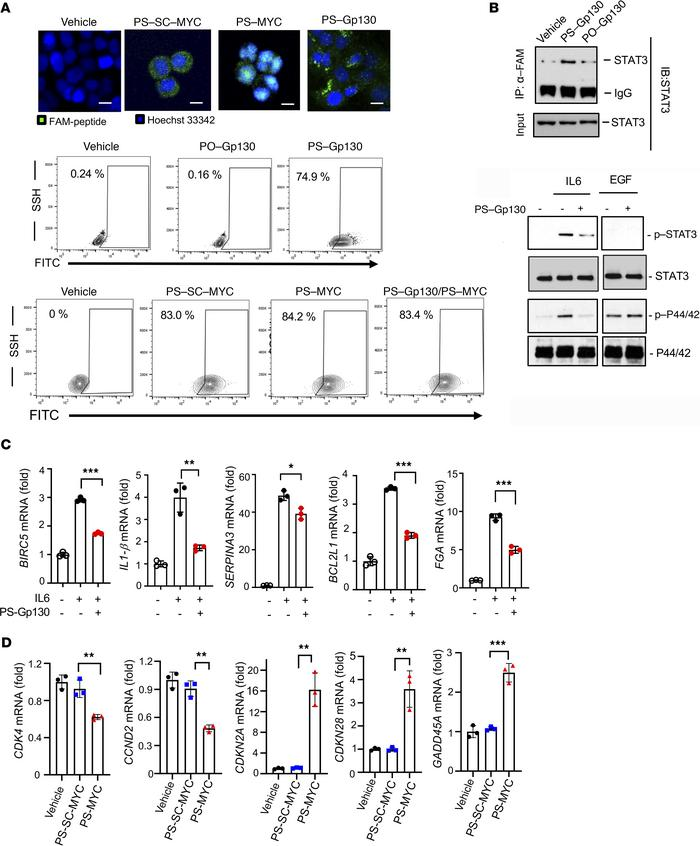 PS-Gp130 and PS-MYC blocking peptides efficiently internalize into tumor...