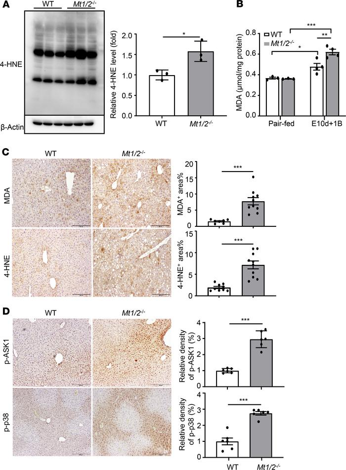 Deletion of the Mt1/2 gene enhances oxidative stress and ASK1/p38 MAPK a...