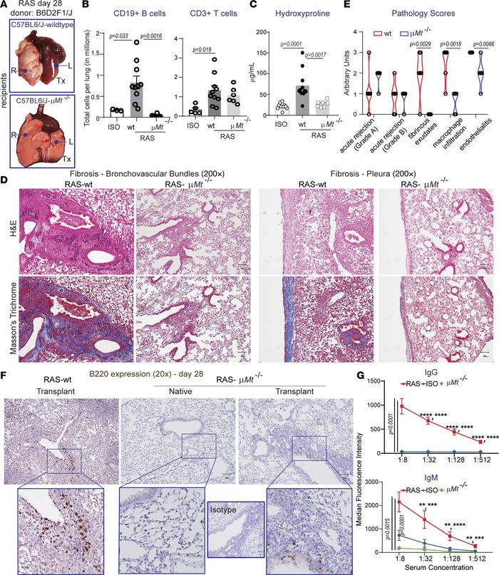 Requisite role for mature B cells in chronic lung allograft rejection le...