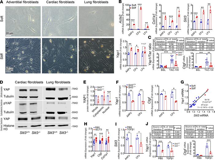 SLIT3 regulates YAP1 and fibrillar collagen production. (A and B) Repres...