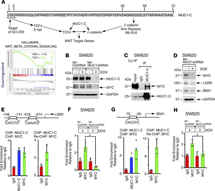 MUC1-C/MYC signaling induces LGR5 and BMI1 expression. (A) Amino acid se...