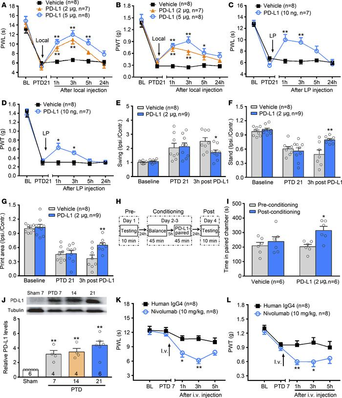 Involvement of PD-L1/PD-1 in mouse bone cancer pain. (A–D) Local (A and ...