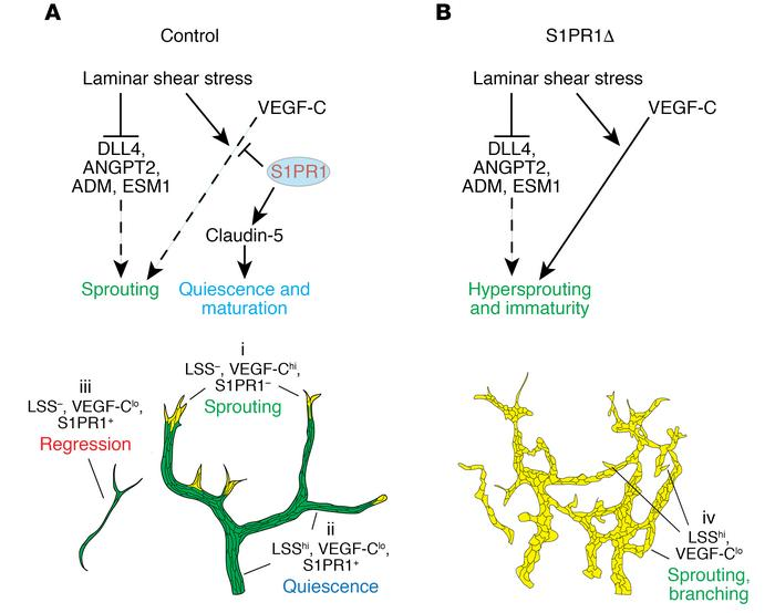 Model for the crosstalk between LSS, S1PR1, and VEGF-C signaling during ...