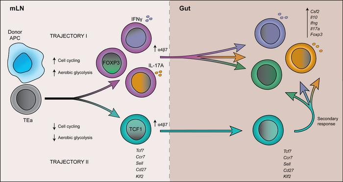 Schematic overview of alloreactive CD4+ T cell differentiation in the mL...