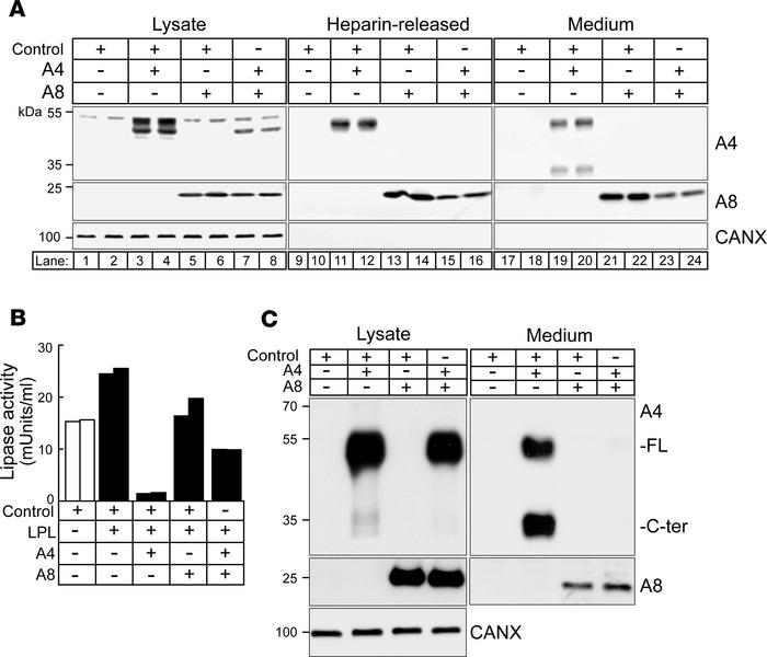 A8 prevents A4 secretion and attenuates A4 inhibition of LPL in CHO-K1 c...
