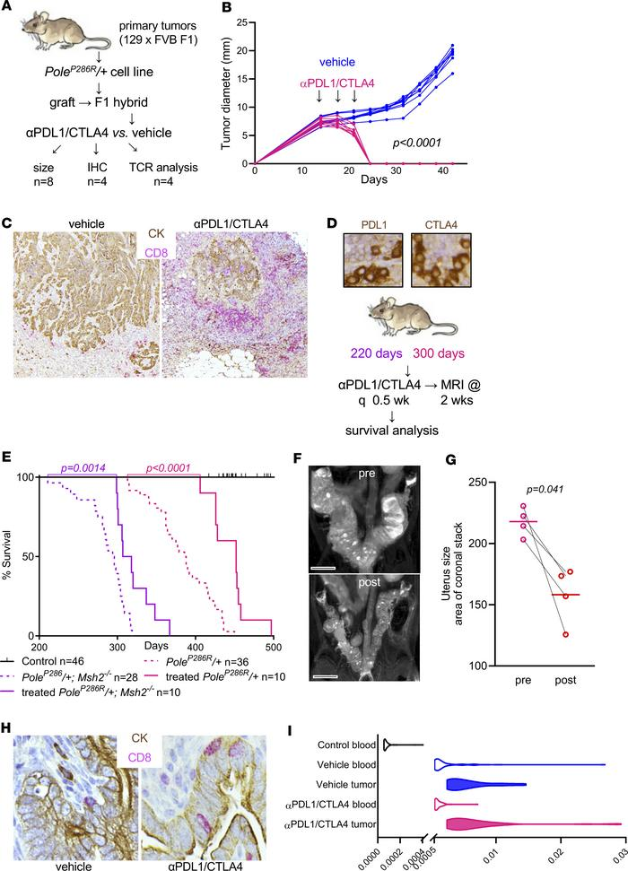 PoleP286R/+ and PoleP286R/+Msh2–/– tumors are highly responsive to immu...
