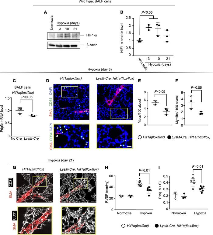 Hif1a deletion in myeloid cells attenuates hypoxia-induced Pdgfb expres...