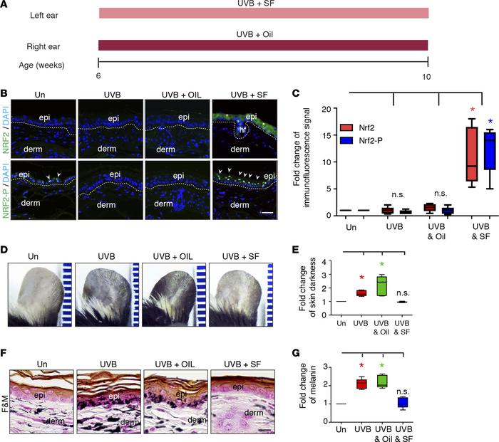 NRF2 agonist treatment prevents UVB-induced skin ear pigmentation in mic...