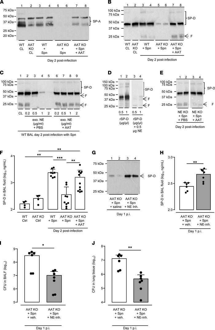 NE degrades collectins SP-A and SP-D in the lungs of AAT-deficient mice....