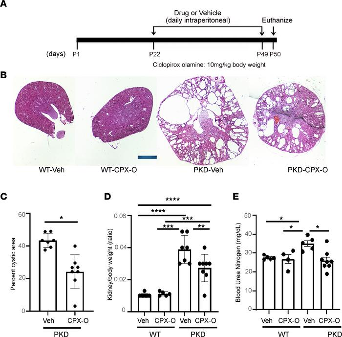 CPX-O ameliorates disease progression in a mouse model of ADPKD. (A) Exp...