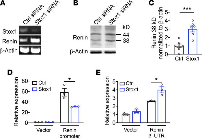 STOX1 regulates renin expression in human cytotrophoblasts. (A) siRNA kn...