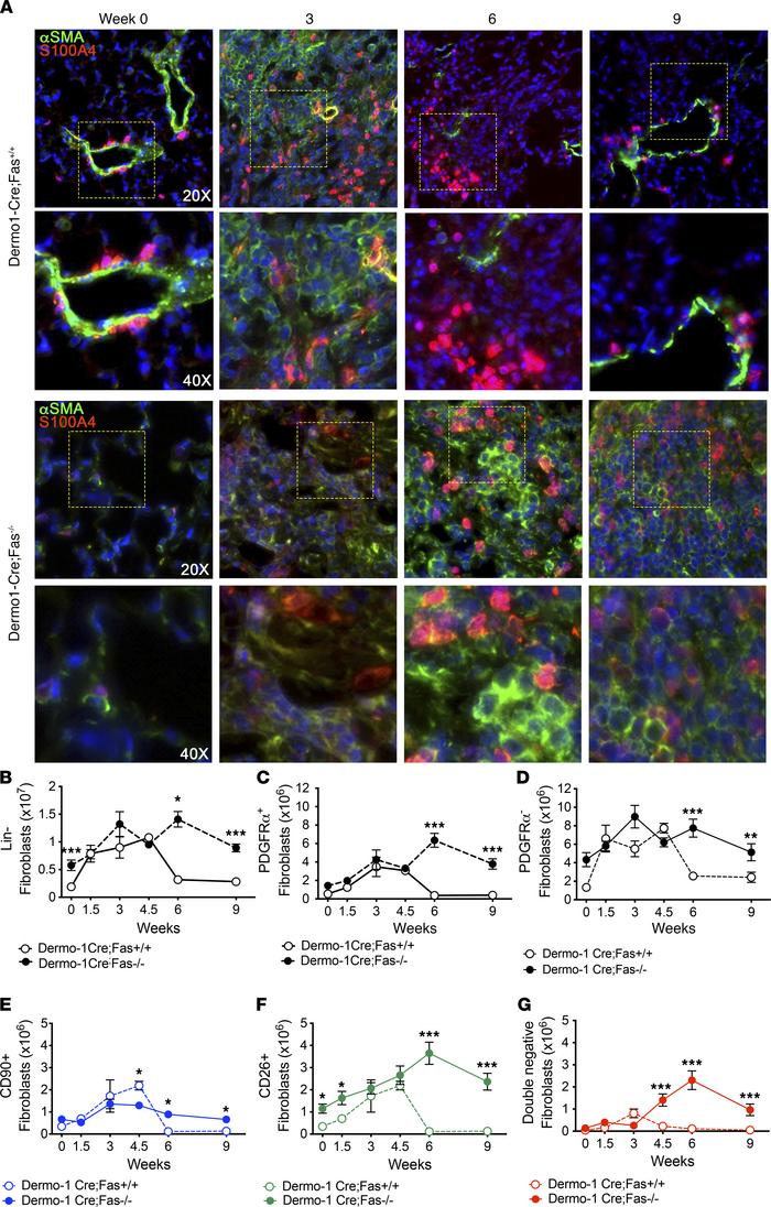 Fibroblasts persist in fibrotic lungs in the absence of Fas. (A) α-SMA (...