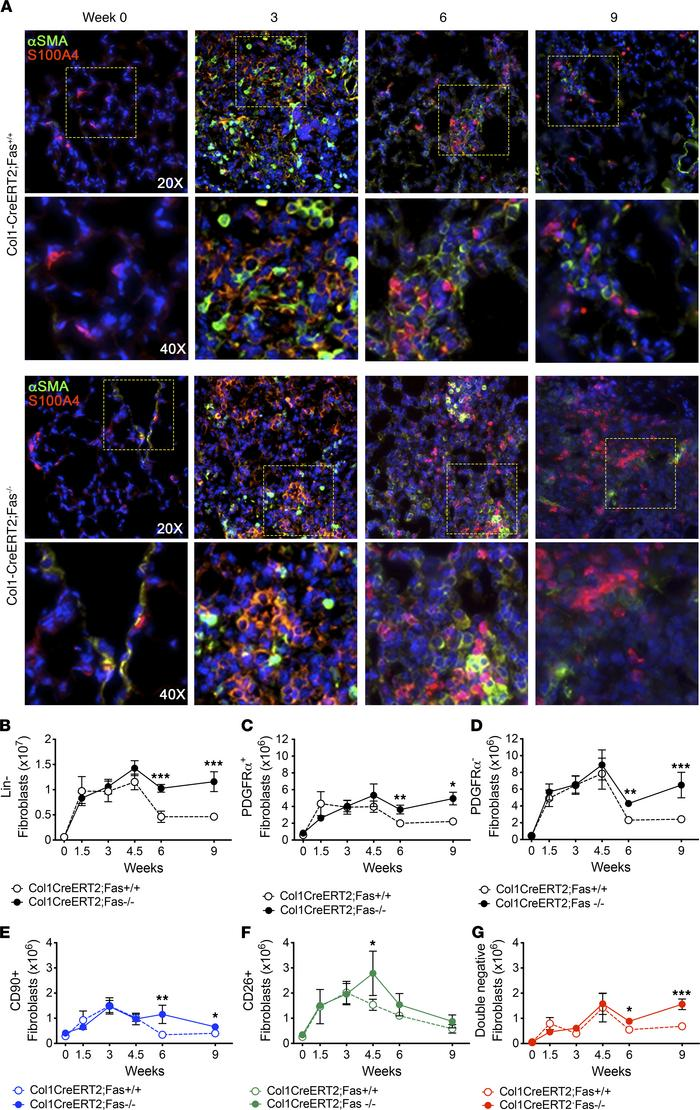 Deletion of Fas in Col-1 fibroblasts permits their persistence during fi...