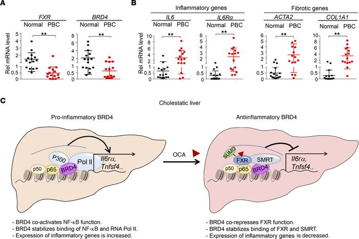 In patients with PBC, hepatic expression of FXR and BRD4 is reduced and ...