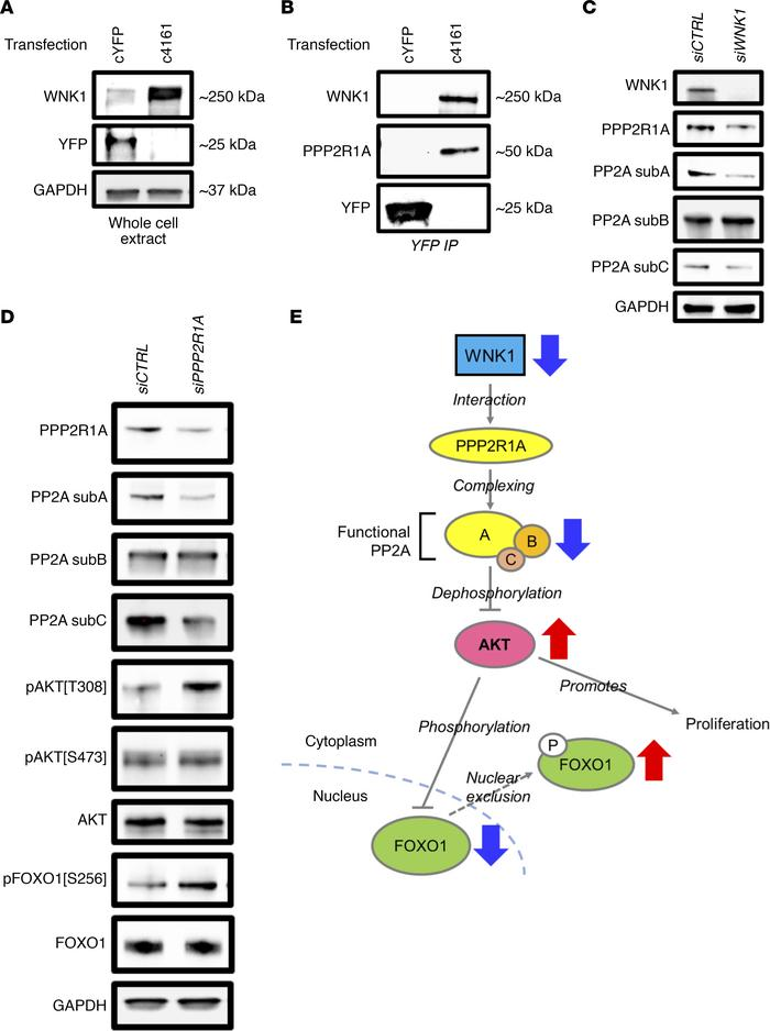 WNK1 regulated AKT signaling through direct interaction with PPP2R1A. (A...