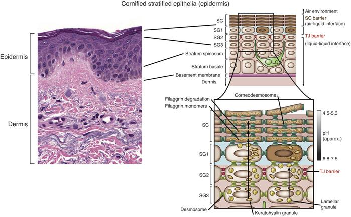 Histology of the skin and the epidermis. The epidermis is a dynamic tiss...