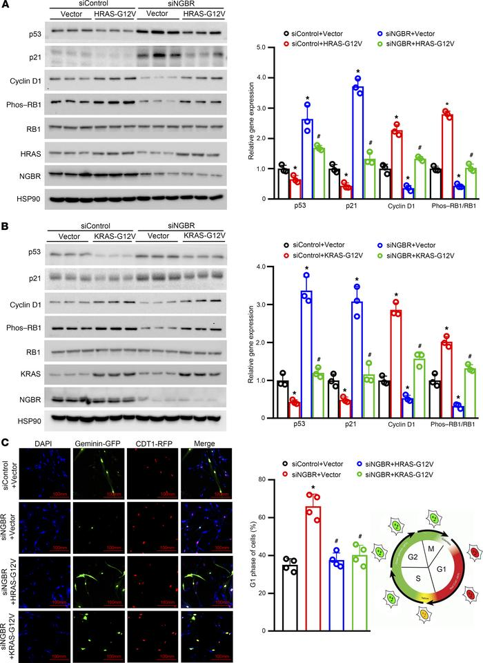 Overexpression of constitutively activated HRAS/KRAS diminishes NGBR def...