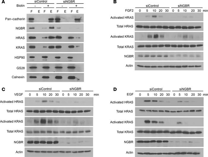 NGBR depletion attenuates RAS membrane accumulation and growth factor–st...
