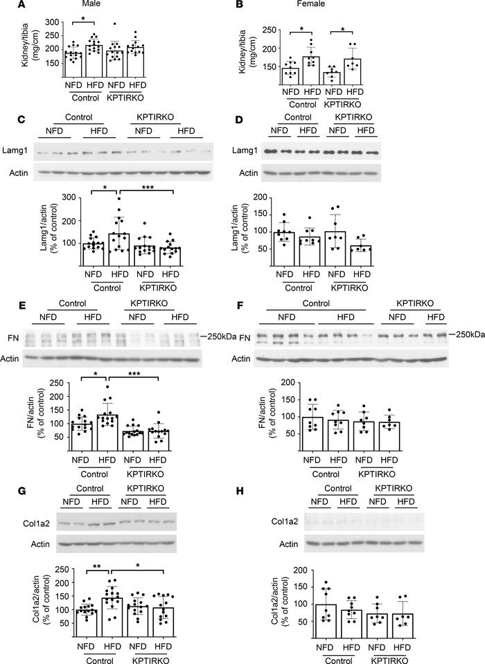 KPTIRKO mice are protected from matrix increase following HFD. (A and B)...