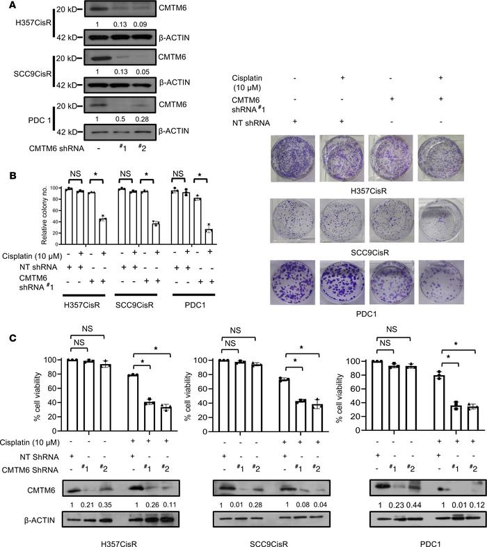 Lentivirus-mediated stable KD of CMTM6 reduces cell growth and prolifera...