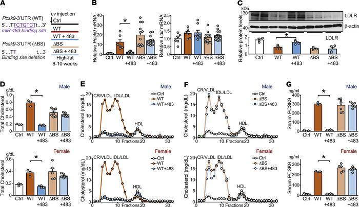 miR-483 targets Pcsk9 3′-UTR to reduce LDL-C levels in mice. (A) Male an...