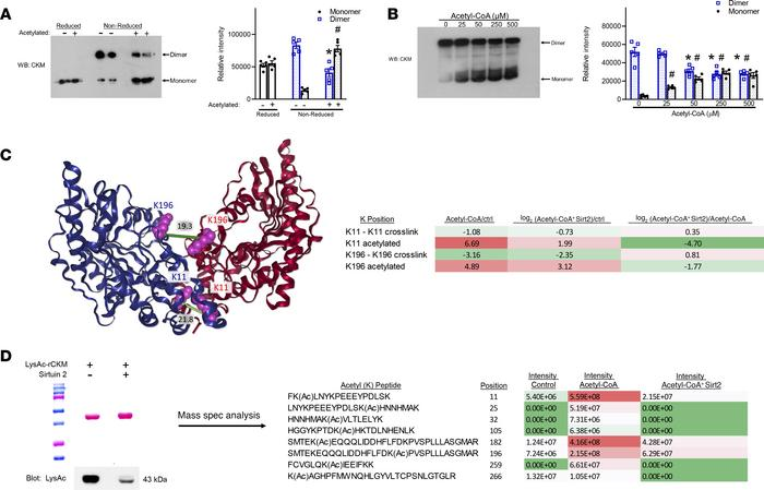 Acetylation of human recombinant CKM disrupts dimer formation. (A) Nonac...