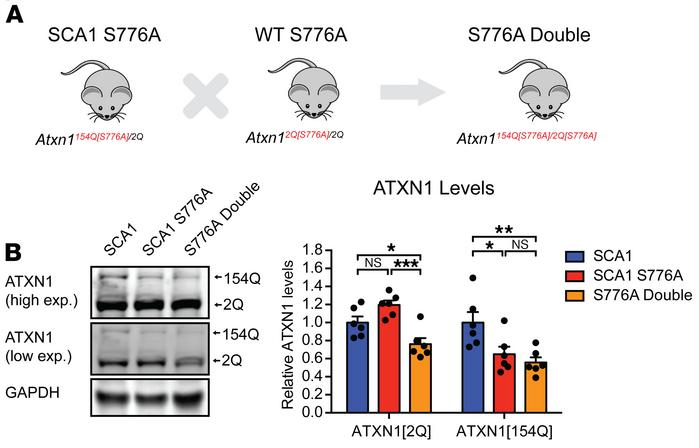 S776A double mutants have reduced ATXN1[2Q] and ATXN1[154Q] levels. (A) ...