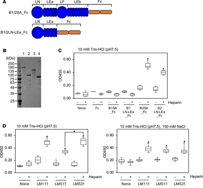 Characterization of heparin binding to the laminin β2 short arm. (A) Sch...
