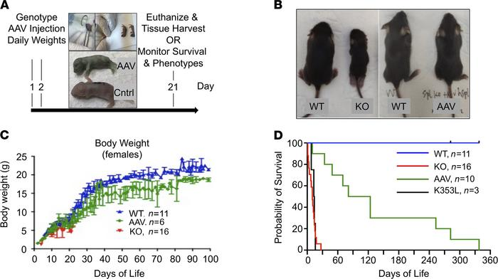 Treatment of newborn Sgpl1-KO mice with AAV-SPL prolongs survival. (A) T...