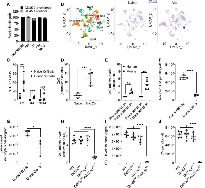 Depletion of donor alveolar macrophages (AM) suppresses recruitment of r...