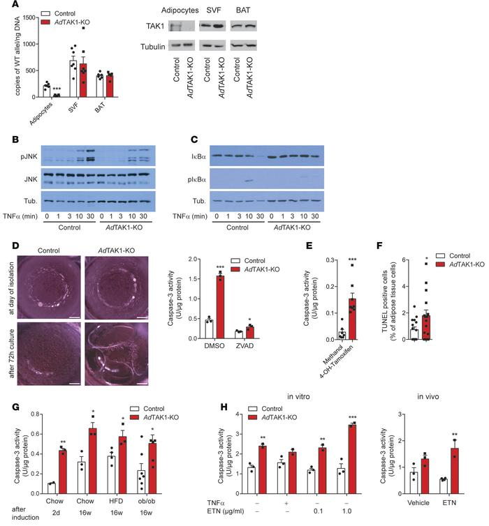 Consequences of TAK1 deficiency in white adipocytes. (A) Quantitative PC...