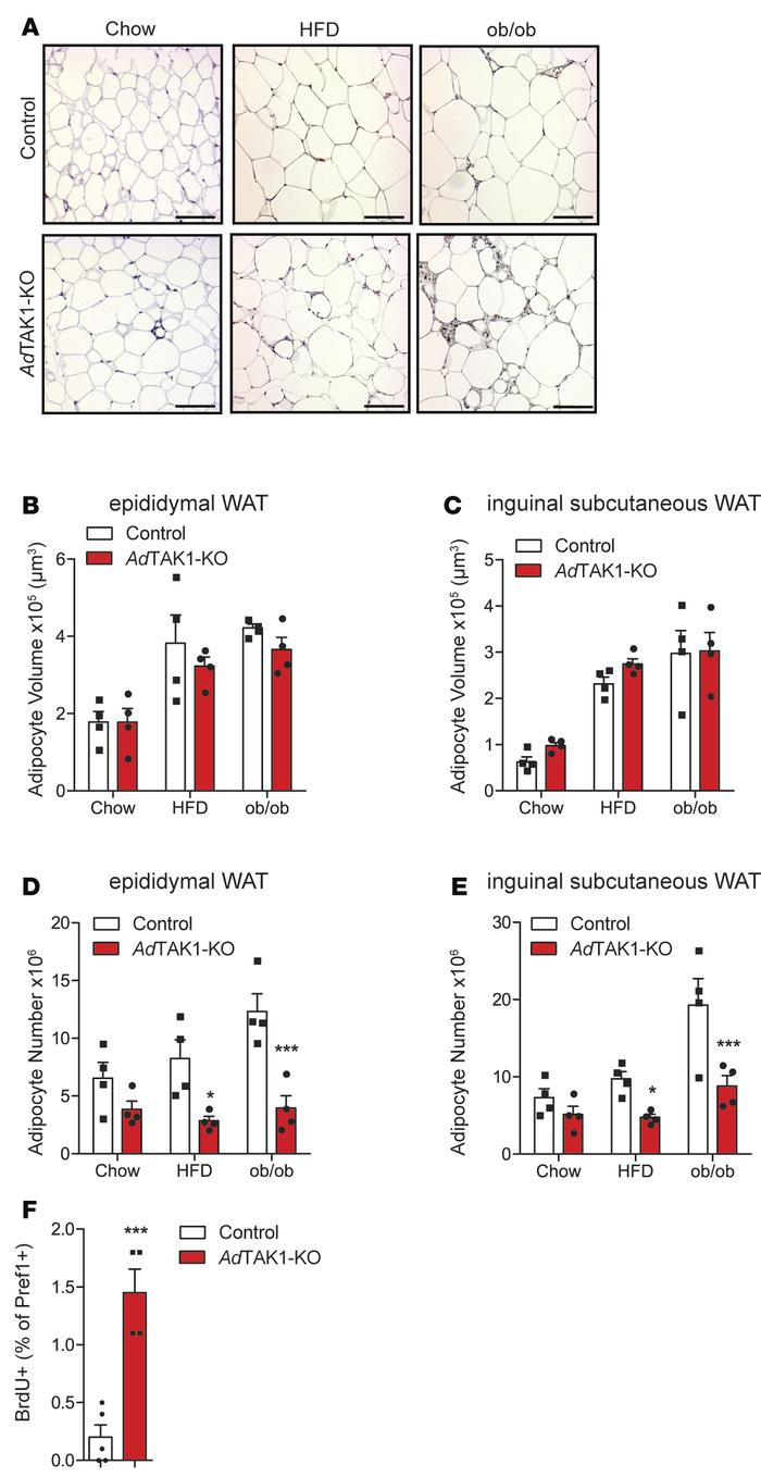 White adipose tissue composition in the absence of TAK1. (A) H&E-sta...