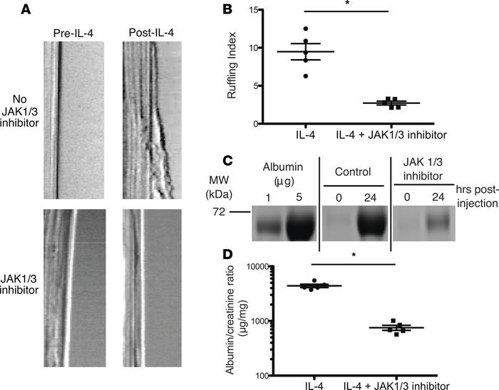 Inhibition of IL-4 signaling with JAK1/3 inhibitor abrogated ruffling an...