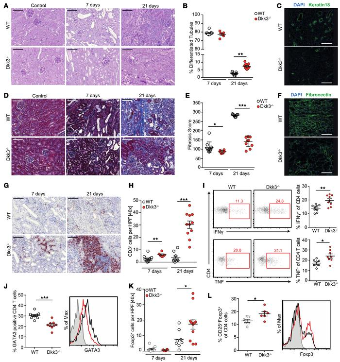 Dickkopf 3 (DKK3) abrogation diminishes tubular damage and renal interst...