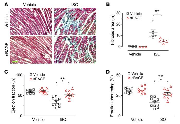 sRAGE inhibits ISO-induced myocardial fibrosis and contractile dysfuncti...